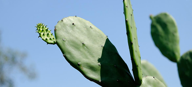 Eetbaar 'plastic' van cactussap