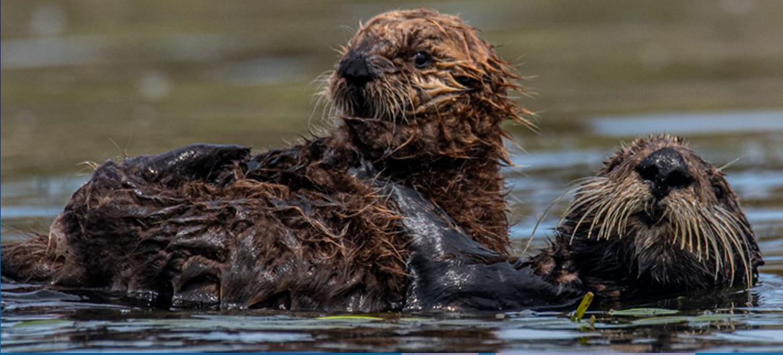 Eenzame otter vindt wederhelft