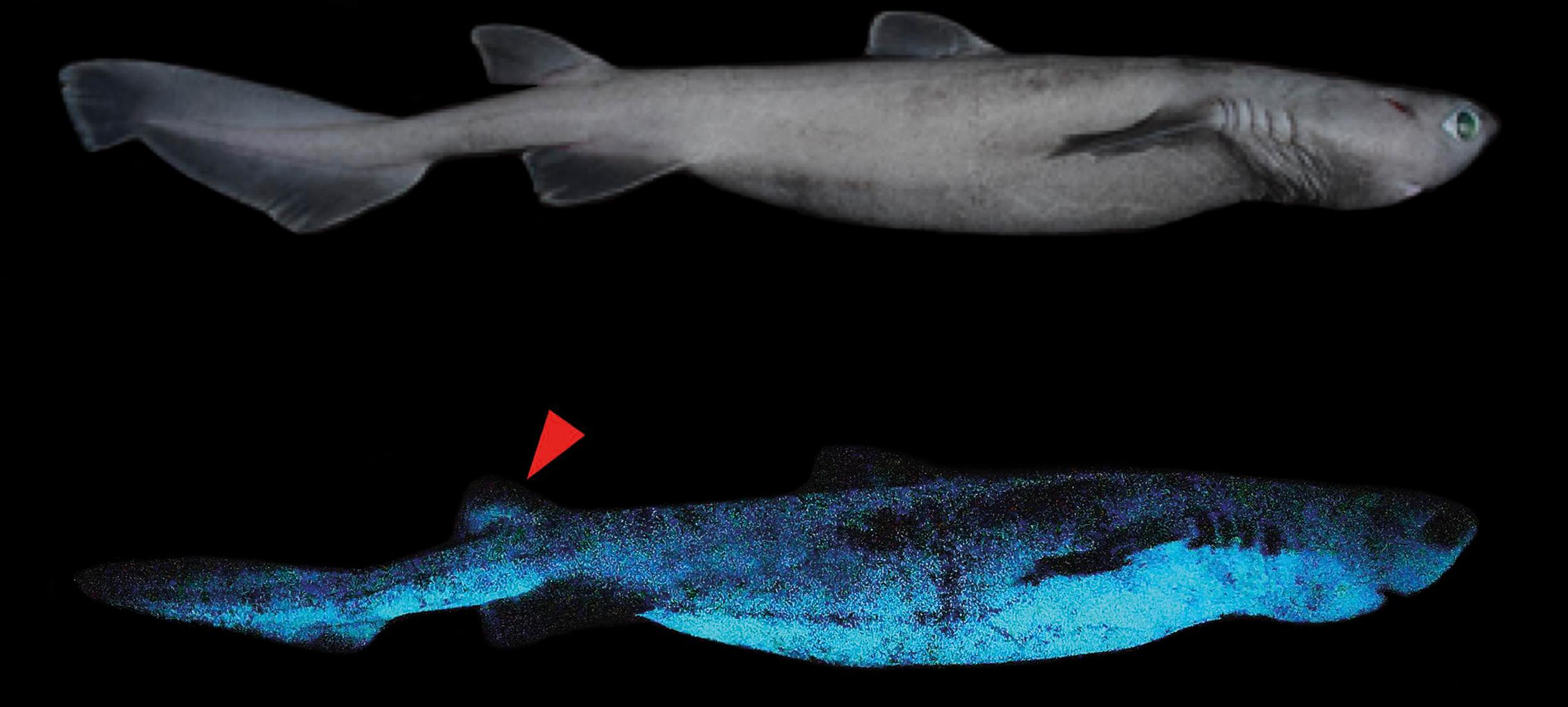 De dag in vooruitgang: Onderzoekers ontdekken lichtgevende haaien, en meer