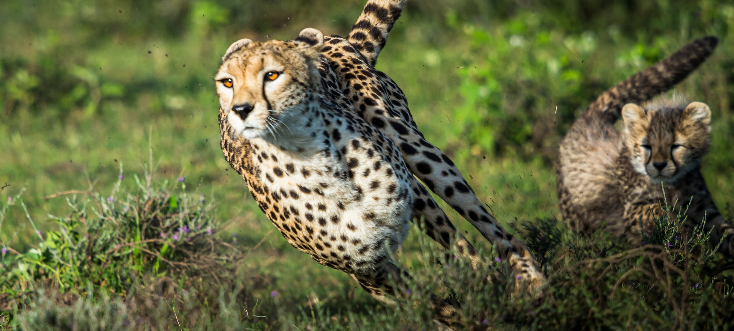 's Werelds snelste kat maakt comeback in India, en meer nieuws