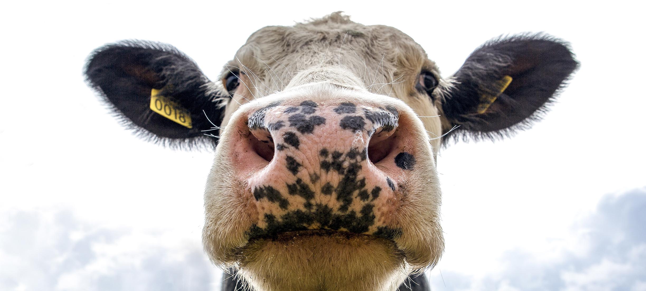 Studie: 'Kweekvlees veel minder belastend voor milieu dan vlees van dieren', en meer nieuws