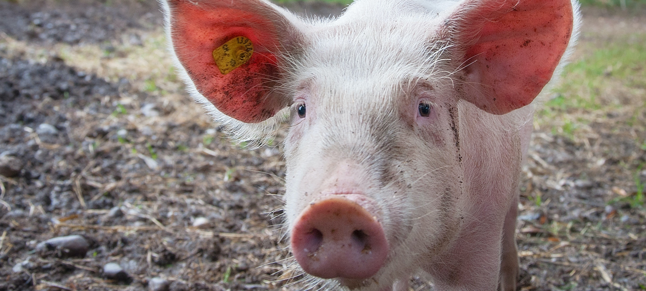 Studie: 'Vleestax effectiefst wanneer opbrengst naar duurzame boeren gaat', en meer nieuws